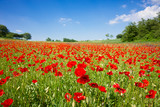Fototapety Poppy field
