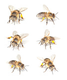 Fototapety Honey bee (Apis mellifera) collection