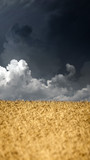 Wheat field and thunderstorm sky.