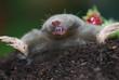 Maulwurf (Talpa europaea) Wildlife