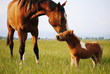 Love between mare and foal