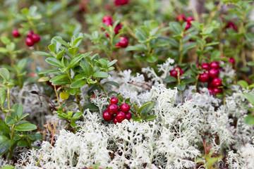 Lingonberry