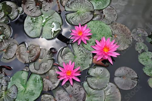 Aluminium Water planten Ninfea - Nymphaeaceae