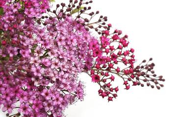 Inflorescence de Spirea japonica