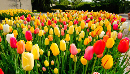 Spring tulips at the park