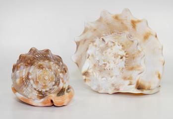 big seashells