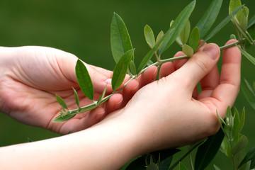 Mani che curano rama di olivo