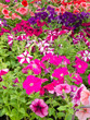 Multi-colored blooming petunias background