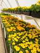 Inside commercial greenhouse with blooming marigold