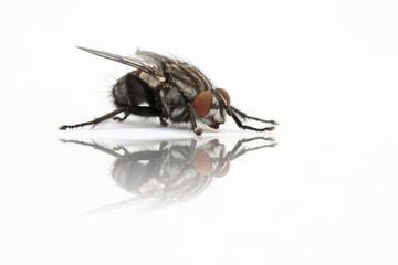 reflejo de mosca