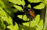 Garden Chafer (Phyllopertha horticola) on Fern poster