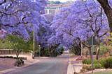 Fototapety jacaranda trees