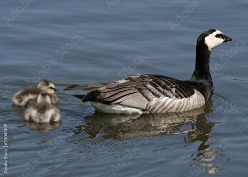 Barnacle Geese and goslings 2