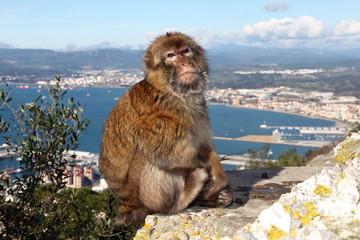 Berberaffen (Macaca sylvanus) - Gibraltar