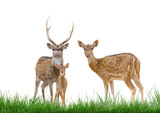 axis deer family with green grass isolated poster