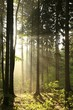 Coniferous forest backlit by the morning sun on a foggy morning