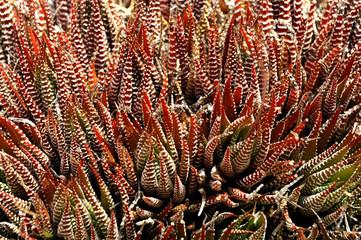 succulenta variegata