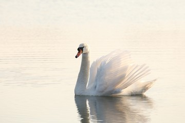 Lonely swan illuminated by the rising sun