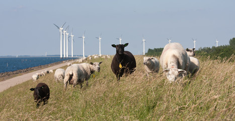 Sheep grazing at the dike with behind them a long row of windmil