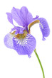 Beautiful Purple Iris on White Background