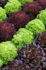 Gartenbeet mit verschiedenen Salaten