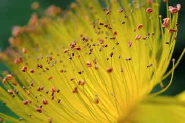 Fleur de Millepertuis - Macrophotographie