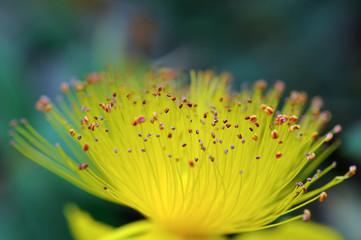 Sommité florale de Millepertuis