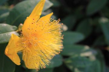 黄色のキンシバイの花