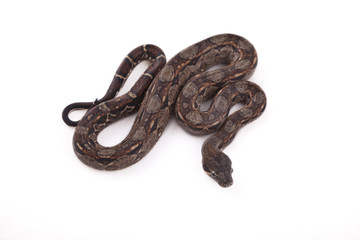 Baby Sonoran Desert Boa constrictor on white background