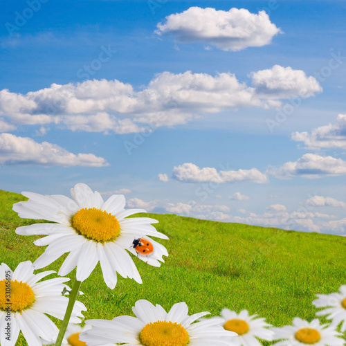 Field with daisies