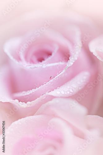 Rosa Rosen mit Tautropfen © Nailia Schwarz