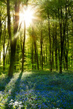 Fototapety Sunset in a Bluebell Wood in Spring