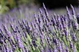 Fototapety Lavande : plante mellifère
