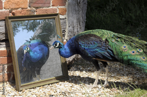 Peacock admiring its reflection in a mirror
