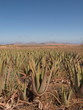 Aloevera-Plantage
