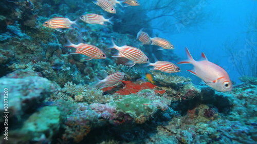 School of Crown squirrelfishes (Sargocentron diadema), Maldives