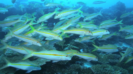 School of Yellowstripe goatfishes (Mulloidichthys flavolineatus)