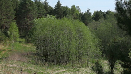 Fresh green of spring forest