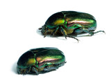 Rose chafers poster