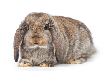 Grey rabbit isolated on white