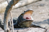 American Alligator with its jaws open poster