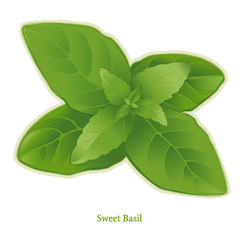 Fresh Sweet Basil Herb