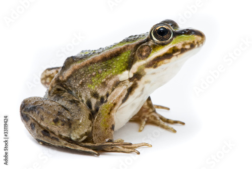 Rana ridibunda. Lake frog on white background - 33119424