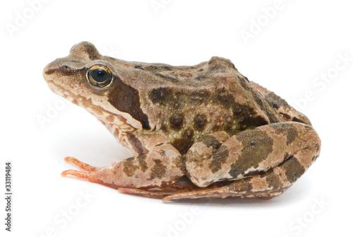 Fotobehang Kikker Rana temporaria. Grass frog on white background.