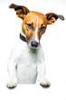 Hund mit banner