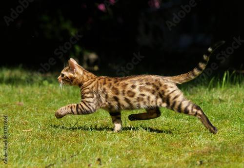 Laufende Bengalkatze