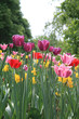 Mixed colored tulips and daffodils