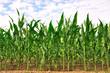 rangées de maïs - 33132278