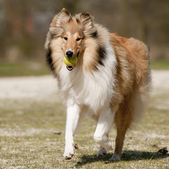 Scotch Collie running with a tennis-ball in his jaw