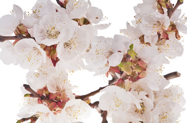 lot of cherry flowers on white background
